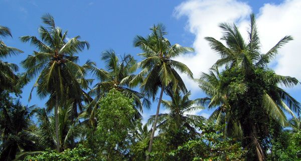 Smukke palmer ved Unawatuna