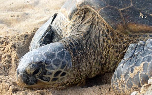 Skildpadde ved Unawatuna på Sri Lanka