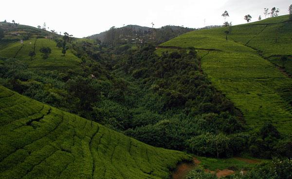 Smuk Teplantage på Sri Lanka