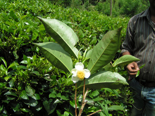 Den bedste te findes på Sri Lanka