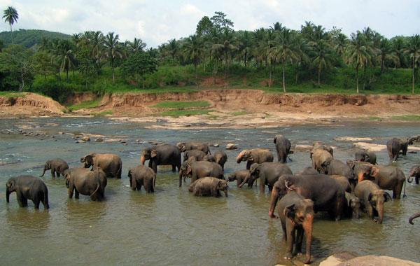 Stor flok af elefanter i Yala Nationalpark