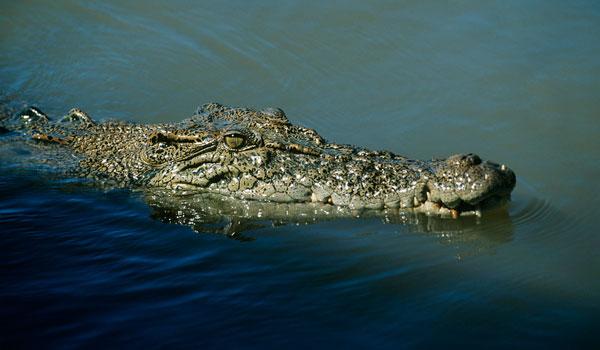 5 meter lang krokodille på Sri Lanka