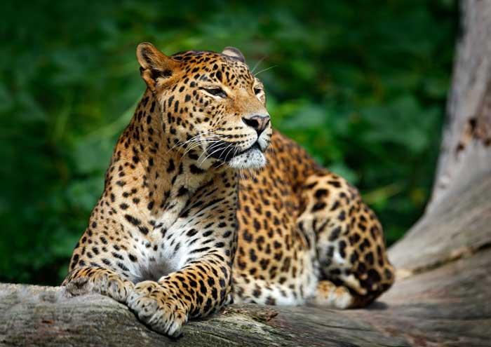 Du har mulighed for at se leoparder på Sri Lanka