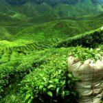 Teplantage oppe i de Sri Lankanske bjerge