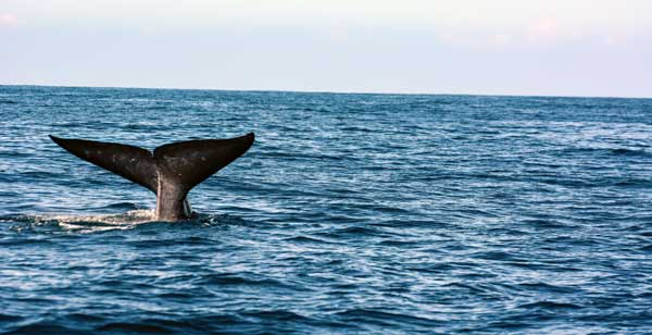 Verdensklasse hvalsafari ved mirissa på Sri Lanka